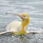 pinguinoamarillo1