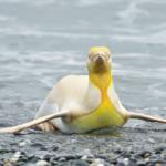 pinguinoamarillo3